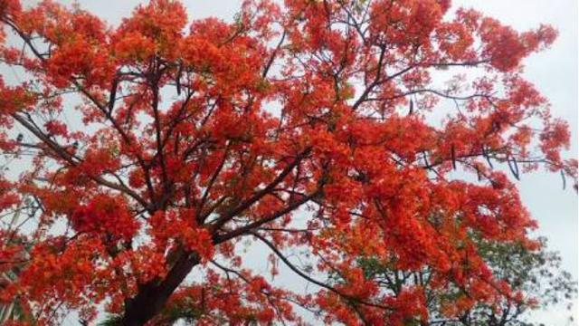 Bunga Tabebuya Gugur Flamboyan Mekar Di Surabaya Surabaya