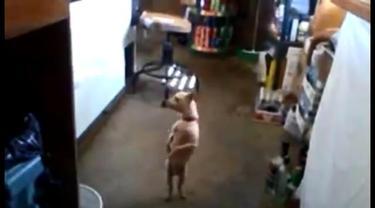 Lucu, anjing ini menari menurut irama Gangman Style.