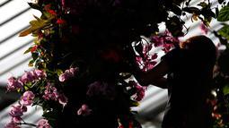 Petugas menata tanaman anggrek selama pratinjau pers festival tahunan anggrek di Kew Gardens, London, Kamis (7/2). Tim yang terdiri dari pakar hortikultura memerlukan waktu 30 hari untuk memasang 6.200 anggrek dalam festival ini. (AP/Alastair Grant)