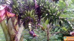 Citizen6, Maluku: Pohon pisang berusia satu tahun yang bertandan tiga. (Pengirim: Ghopal)