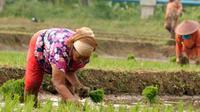 Dua orang buruh tani penggarap menanam benih padi milik warga di Bubulak, Bogor, Jabar. Buruh tani yang mengelola sawah milik warga tersebut diupah dengan 20% padi dari hasil saat panen nanti.(Antara)