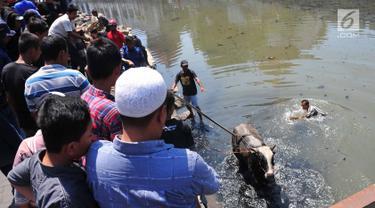 Petugas pemadam kebakaran bersama warga mengevakuasi seekor sapi yang tercebur ke Kali Mberok, Kota Semarang, Sabtu (10/8/2019). Butuh sekitar 3 jam mengevakuasi sapi untuk kurban tersebut hingga mau dimasukkan ke mobil. (Lipuan6.com/Gholib)
