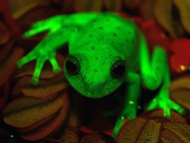 Katak yang dapat menyala di kegelapan baru-baru ini berhasil ditemukan di sebuah wilayah Santa Fe, Argentina, 16 Maret 2017. Ini adalah penemuan pertama di dunia tentang keberadaan katak hijau yang bisa menyala. (C.TABOADA-J.FAIVOVICH/MACN-CONICET/AFP)