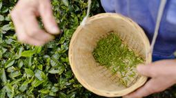 Pekerja memetik daun teh di sebuah pabrik teh di Chongqing, China, Minggu (23/2/2020). Melalui peningkatan upaya pengendalian epidemi virus corona atau COVID-19, pabrik teh di China mulai melanjutkan kegiatan produksi pada awal musim semi ketika pucuk daun teh mulai terlihat. (Xinhua/Liu Chan)