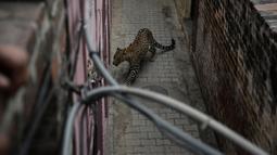 Seekor macan tutul ditemukan bersembunyi di sebuah rumah di daerah perkampungan di Jalandhar, India utara, Kamis (31/1). Macan tutul itu tersesat di perkampungan dan menyerang penduduk desa sebelum akhirnya dikurung dalam sebuah ruangan. (AP Photo)