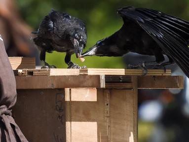Burung  gagak berebut puntung rokok di taman Puy du Fou, yang berlokasi di Les Epesses, Prancis barat, Selasa (14/8). Sebanyak enam gagak dilatih untuk memungut sampah di taman hiburan paling populer kedua di Prancis tersebut. (AFP/SEBASTIEN SALOM GOMIS)