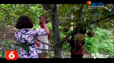 Para pengunjung bisa memilih dan memetik secara langsung buah durian dari kebunnya di Kota Madiun Jawa Timur. Jenis buah durian yang banyak diminati oleh pengunjung yaitu durian kawuk, karena rasanya yang istimewa, harga yang dijual lebih tinggi yait...