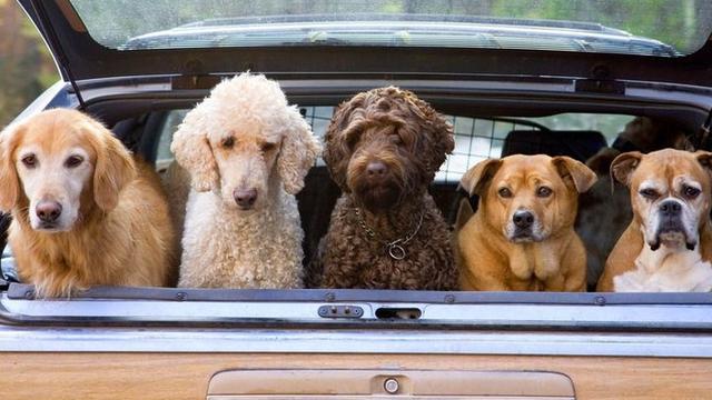 Anjing-anjing hendak ikut di dalam mobil