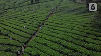 Pemandangan foto udara Perkebunan Kebun Teh kawasan Puncak, Kabupaten Bogor, Jawa Barat, Minggu (31/5/2020). Meski Pemkab Bogor memperpanjang masa Pembatasan Sosial Berskala Besar (PSBB) hingga 4 Juni namun wisatawan tetap memadati kawasan wisata kebun teh. (Liputan6.com/Helmi Fithriansyah)