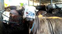 Sapi dan kambing menjadi hewan kurban utama di Indonesia. (Foto: Liputan6.com/Muhamad Ridlo)