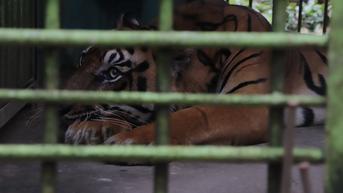 Asupan Gizi untuk Harimau di Medan Zoo Turut Terdampak Pandemi Covid-19