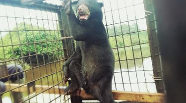 Kisah Pulaga si Beruang Jantan yang Setia Menunggu Pasangannya di Perangkap