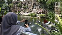 Wisatawan mengambil gambar kawanan Burung Pelikan saat berkunjung ke Taman Margasatwa Ragunan, Jakarta, Sabtu (1/8/2020). Di masa pandemi corona ini, Ragunan sepi pengunjung di libur panjang Idul Adha 1441 H dibandingkan tahun lalu. (Liputan6.com/Herman Zakharia)