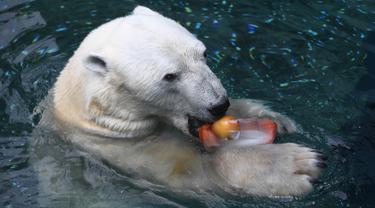 Seekor beruang kutub jantan, Tongki memakan  buah yang telah dibekukan di Everland Resort, Korea Selatan, Kamis (21/6). Akibat udara panas, pihak pengelola kebun binatang berinisiatif untuk memberi es krim pada beruang 23 tahun itu. (AFP/Jung Yeon-je)