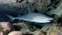Hiu karang sirip putih (Wikipedia)