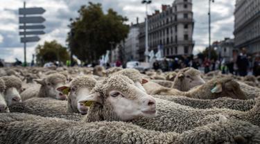Ratusan domba saat diajak para peternak dalam aksi unjuk rasa menentang kebijakan 'Plan Loup' di Kota Lyon, Prancis, (9/10). Aksi peternak tersebut untuk menentang program perlindungan serigala. (AP Photo / Laurent Cipriani)