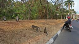 Pengendara motor sedang melihat aktivitas monyet di kawasan Pantai Indah Kapuk (PIK), Jakarta, Selasa (17/9/2019). Kawanan monyet yang berasal dari Suaka Margasatwa Muara Angke tersebut keluar dari habitatnya ke jalan untuk mencari makanan. (Liputan6.com/Herman Zakharia)