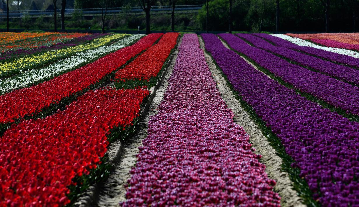 Foto Warna Warni Ladang Bunga Tulip Di Jerman Citizen6 Liputan6 Com