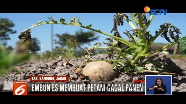 Dilanda suhu dingin hingga di bawah 10 derajat celcius, petani kentang di Kabupaten Bandung gagal panen.