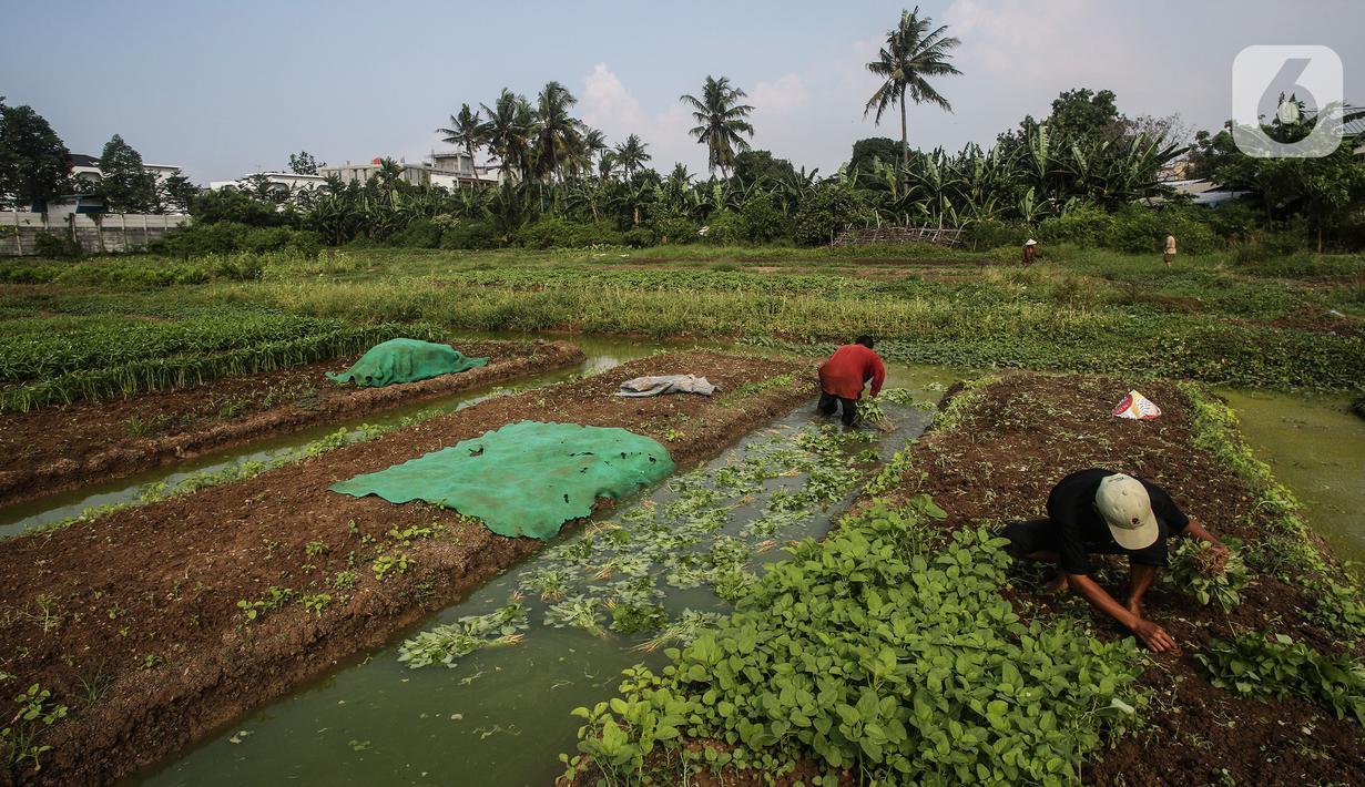 Warga memanen bayam di lahan kosong yang dimanfaatkan berkebun di kawasan Cengkareng, Jakarta Barat, Rabu (4/8/2021). Di tengah pandemi, warga di daerah tersebut bisa meraup keuntungan Rp 500 ribu sampai Rp 1 juta dalam sekali panen sayuran. (Liputan6.com/JohanTallo)