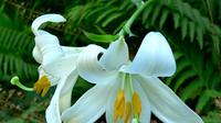 Ilustrasi bunga lili (Wikimedia Commons)