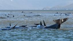 Kawanan paus pilot yang terdampar di perairan Pelabuhan Macquarie, Tasmania, Australia (21/09/2020). Para ilmuwan mengatakan dua kawanan besar paus pilot bersirip panjang terjebak di sandbar di Pelabuhan Macquarie, di pantai barat Tasmania yang sedikti penduduk. (AFP/Pool)