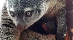 Anak kuskus beruang Sulawesi yang lahir pertama kalinya di penangkaran kebun binatang Wroclaw di Polandia, Selasa (5/6). Anak kuskus yang kemungkinan lahir enam bulan lalu itu sekarang lebih besar dan sering keluar dari kantong ibunya. (AFP/Wroclow Zoo)