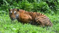 Seekor harimau telah menempuh jarak 1.300 km (807 mil) dalam lima bulan. (Liputan6.com/BBC)