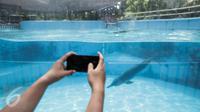 Pengunjung mengambil gambar lumba-lumba di Dolphin Bay, Taman Impian Jaya Ancol, Jakarta, Jumat (14/4). Wahana tersebut menjadi sarana edukasi sekaligus mengenalkan lebih dekat lumba-lumba kepada para pengunjung. (Liputan6.com/Faizal Fanani)