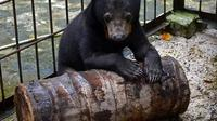 Anak beruang yang pernah diselamatkan BBKSDA Riau. (Liputan6.com/M Syukur)