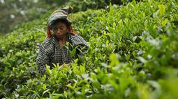 Seorang pekerja wanita memetik daun teh di kebun teh di Kaziranga, di negara bagian Assam di India timur laut, (11/10). Assam memproduksi lebih dari 50 persen tanaman teh di India. (AP Photo/Anupam Nath)
