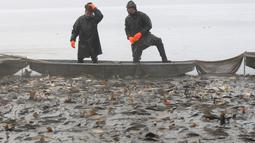 Nelayan berdiri di atas perahu sambil melihat ikan mas yang tertangkap jala saat tradisi panen di dekat desa Mazelov, Republik Ceko, 15 November 2018. Tradisi panen ikan mas ini biasa dilakukan tahunan menjelang musim Natal. (AP/Petr David Josek)