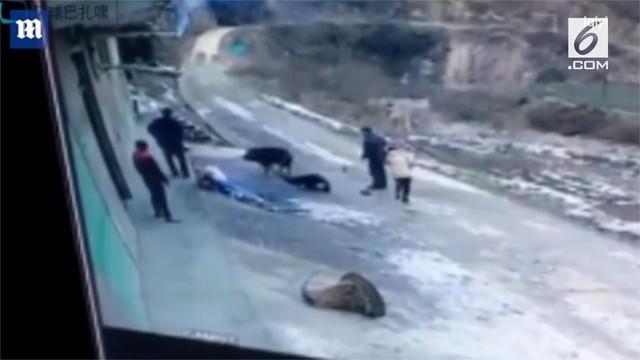Kakek Zhang dan menantunya Xie diserang babi hutan saat mencari batu bara di Desa Peiba, Provinsi Shaanxi, China.