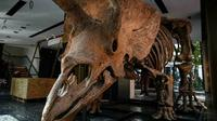 Triceratops adalah salah satu dinosaurus yang paling khas karena tiga tanduk di kepala -- satu di hidung dan dua di dahi (AFP)