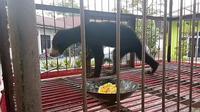 Empat tahun dipelihara, dua ekor beruang madu akhirnya diserahkan pemeliharanya ke Balai Besar Konservasi Sumber Daya Alam Riau (BBKSDA) Riau. (Liputan6.com/M Syukur)