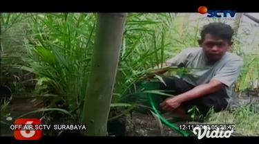 Buah kurma yang biasa tumbuh di negara Timur Tengah, ternyata bisa tumbuh dan berbuah di Indonesia yang mempunyai iklim tropis. Di Kediri, Jawa Timur sebuah pondok pesantren berhasil membudidayakan 14 jenis buah kurma.