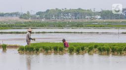 Petani menyiapkan lahan persawahan sebelum ditanami bibit padi di Tangerang Selatan, Jumat (15/10/2020). Lahan pertanian yang terbatas bisa dimanfaatkan dengan menanam tanaman pangan yang berusia pendek dan memiliki nilai ekonomis. (Liputan6.com/Fery Pradolo)