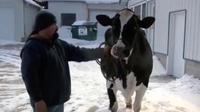 Seekor sapi bernama My Gold dari Wisconsin memecahkan rekor dengan memproduksi 35.000 kg susu setahun.
