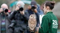 Burung hantu Alberta menoleh saat sensus tahunan di Kebun Binatang ZSL London, Inggris, Kamis (2/1/2020). Kebun Binatang ZSL London melakukan sensus tahunan terhadap lebih dari 500 spesies. (AP Photo/Frank Augstein)