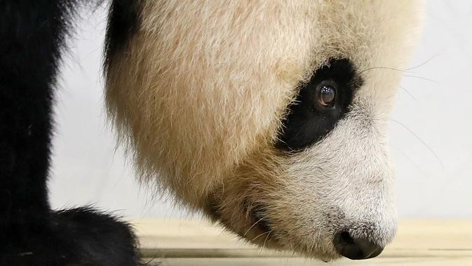 Panda raksasa bernama A'ling beraktivitas dalam kandangnya di sebuah kebun binatang di Anshan, Liaoning, China, Kamis (21/5/2020). Dua panda raksasa bernama A'ling dan Qingcheng akan tampil di hadapan publik usai menjalani fase adaptasi. (Xinhua/Yao Jianfeng)