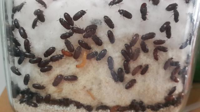 khasiat semut jepang untuk síntomas de diabetes