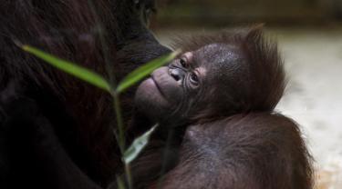Java, bayi orangutan Kalimantan, yang baru lahir di kebun binatang Jardin des Plantes, Paris, Rabu (24/10). Orangutan Kalimantan berada di Daftar Merah Internasional untuk Konservasi Alam (IUCN) Merah sebagai Sangat Terancam Punah. (Eric FEFERBERG/AFP)