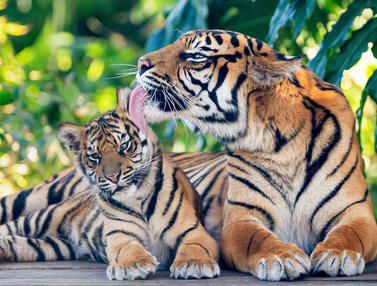 Harimau Sumatera Melahirkan di Sydney