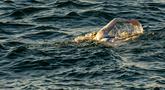 Gambar yang diambil 15 September 2019, perenang AS Sarah Thomas berenang  di Selat Dover, pantai selatan Inggris. Penyintas kanker payudara itu menjadi orang pertama yang berhasil berenang melintasi Selat Inggris empat kali berturut-turut tanpa henti pada Selasa 17 September. (HO/AFP/JON WASHER)