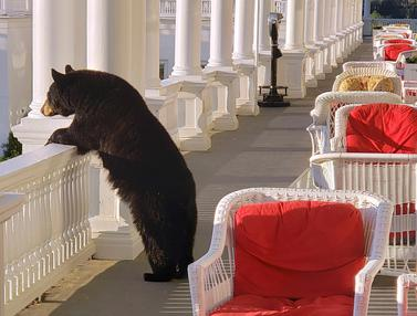 Waduh, Ada Beruang Hitam Lagi Santai di Hotel New Hampshire