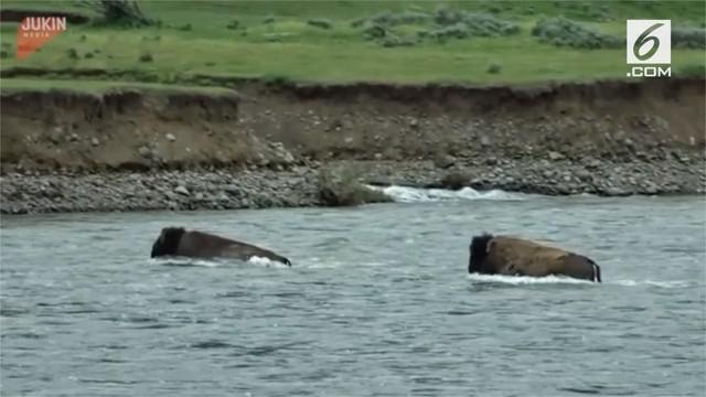 Perjuangan seekor bison menyelamatkan diri dari derasnya arus sungai.