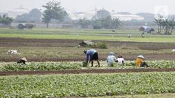 Petani memanen sayuran di Tangerang, Banten, Kamis (8/7/2021). Kredit Usaha Rakyat (KUR) membantu petani mendapatkan modal untuk menjalankan usahanya serta membantu menjaga produktivitas di masa pandemi. (Liputan6.con/Angga Yuniar)