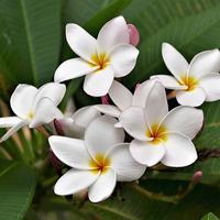Skincare dari bunga kamboja dan kembang sepatu.