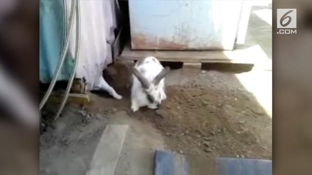 Seekor kelinci gemuk berusaha menyelamatkan seekor kucing yang terjebak di sebuah ruangan.