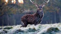 Ilustrasi hewan rusa (AFP)